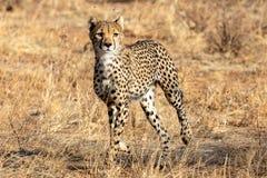 Cheetah in the morning light walking on the plains in the Masai Mara, Kenya, Africa royalty free stock photo