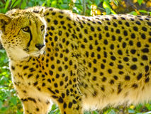 Cheetah in Moscow zoo. Cheetah in the Moscow zoo, the oldest zoo in the country, which is Russia's largest Zoological collection Royalty Free Stock Photos