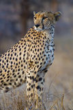 Cheetah mother Royalty Free Stock Photography