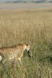 Cheetah mother carrying cub Royalty Free Stock Image
