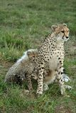 Cheetah Mother and Cub Stock Images