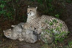 Cheetah Mother and Cubs Royalty Free Stock Photo