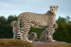 A Cheetah mother with cubs Royalty Free Stock Photo