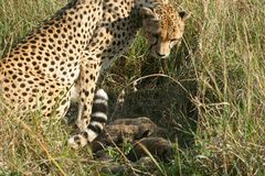 Cheetah mother with cubs Stock Photos