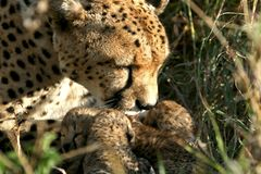Cheetah mother with cubs stock image