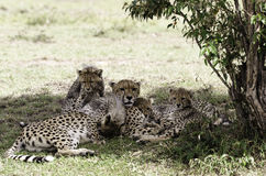 Cheetah Mother with Cubs Stock Images