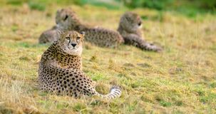 Cheetah mother with cubs looks after enemies stock footage