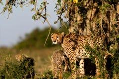 Cheetah Mother with cubs, Masai Mara Royalty Free Stock Photography