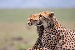 Cheetah Mother with cubs, Masai Mara Stock Photo