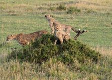 Cheetah Mother With Cubs on a Mound  Tom Wurl Royalty Free Stock Photography
