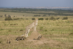 Cheetah mother with three cubs in the Masai Mara. Alert Cheetah mother with three cubs observing her surrounding in the Masai Mara Stock Photo