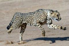 Cheetah in motion. Running cheetah moving at speed Stock Image