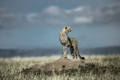 Cheetah on a mound watching around in Serengeti National Park Stock Photo