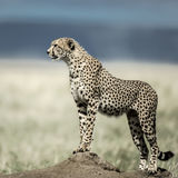 Cheetah on a mound watching around in Serengeti National Park Stock Photography