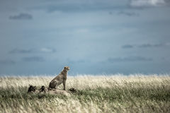 Cheetah on a mound watching around in Serengeti National Park Stock Images