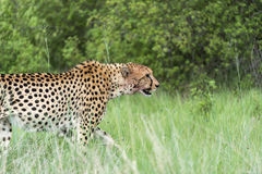 Cheetah on the move. Three Cheetah's had killed a baby tsessebe (antelope) and were eating it as fast as they could to prevent lions / hyenas to steal the kill Royalty Free Stock Photos