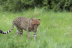Cheetah on the move Royalty Free Stock Images