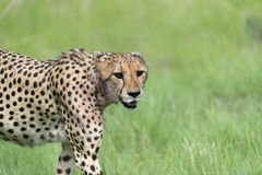 Cheetah on the move. Three Cheetah's had killed a baby tsessebe (antelope) and were eating it as fast as they could to prevent lions / hyenas to steal the kill Royalty Free Stock Image