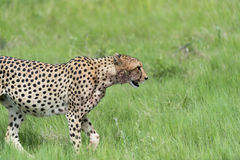 Cheetah on the move. Three Cheetah's had killed a baby tsessebe (antelope) and were eating it as fast as they could to prevent lions / hyenas to steal the kill Stock Image