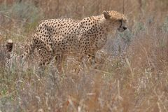 Cheetah on the move royalty free stock photo