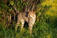 Cheetah in Namibia Stock Images