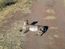 cheetah namibia Arkivfoto