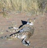 cheetah namibia Royaltyfria Bilder