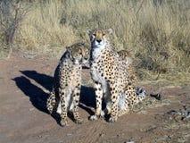 cheetah namibia Arkivbild