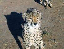 cheetah namibia Arkivfoton