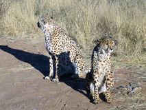 cheetah namibia Arkivbilder