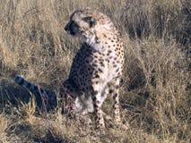 cheetah namibia Fotografering för Bildbyråer
