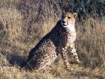 cheetah namibia Royaltyfri Bild