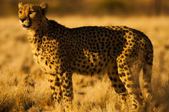 Cheetah in Namibia Africa. Cheetah in Etosha National wildlife park in Namibia Africa Royalty Free Stock Photography