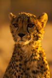 Cheetah in Namibia Africa Royalty Free Stock Photos