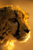 Cheetah in Namibia Africa. Portrait of a Cheetah in Namibia Africa Stock Images