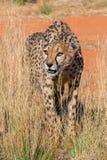 Cheetah namibia. Close up of a cheetah namibia Royalty Free Stock Image