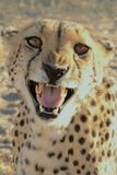 Cheetah namibia Royalty Free Stock Image