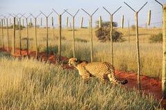 Cheetah, Namibia. One big cheetah is walking in the savannah, Namibia Stock Photo
