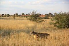 Cheetah, Namibia. One big cheetah is walking in the savannah, Namibia Royalty Free Stock Image