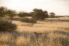Cheetah, Namibia. Cheetah in the savannah, Namibia Royalty Free Stock Images