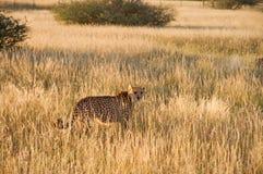Cheetah, Namibia. Cheetah in the savannah, Namibia Stock Photo