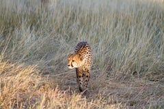 Cheetah, Namibia. Cheetah in the savannah, Namibia Stock Photos