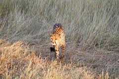 Cheetah, Namibia. Cheetah in the savannah, Namibia Royalty Free Stock Photo
