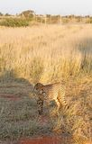 Cheetah, Namibia. Cheetah in the savannah, Namibia Stock Image