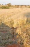 Cheetah, Namibia Stock Image