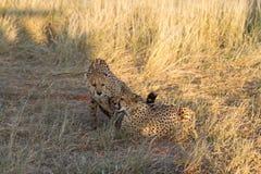 Cheetah, Namibia. Cheetah in the savannah, Namibia Stock Images