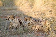 Cheetah, Namibia. Cheetah in the savannah, Namibia Royalty Free Stock Image