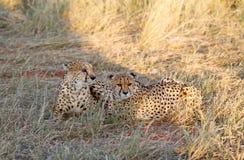 Cheetah, Namibia. Cheetah in the savannah, Namibia Stock Photography