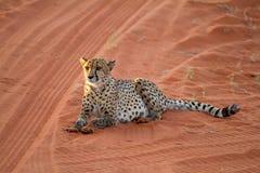 Cheetah, Namibia. Cheetah seating on the savannah at the sunset Royalty Free Stock Image
