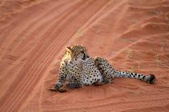 Cheetah, Namibia. Cheetah seating on the savannah at the sunset Stock Photos